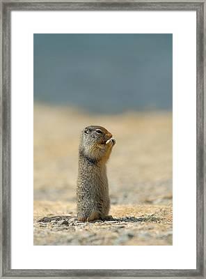 Prairie Dog Framed Print by Sebastian Musial