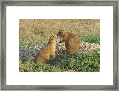 Prairie Dogs Kissing Framed Print by Jeff Swan