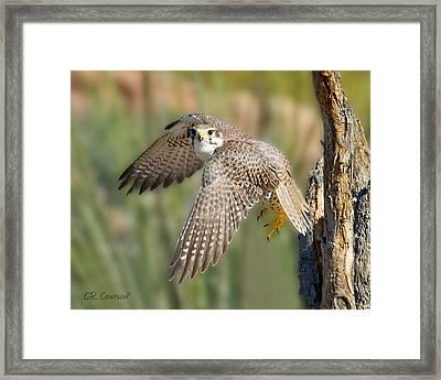 Prairie Falcon Taking Flight Framed Print by CR  Courson