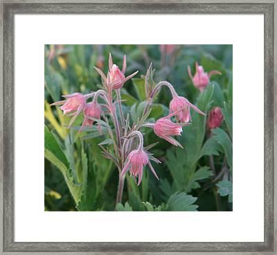 Prairie Smoke Buds Framed Print by Amelia Painter