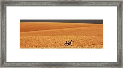 Prairie Storm And Ducks Canada Framed Print by Mark Duffy