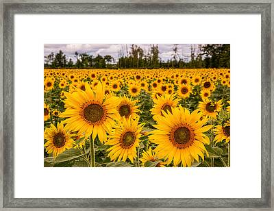 Prayers For Maria Sunflowers Framed Print by Dale Kincaid