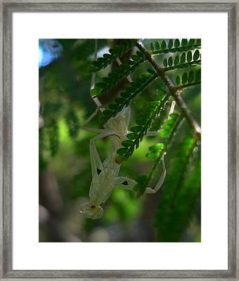 Praying Mantid Exoskeleton Framed Print by Esther Brueggemeier