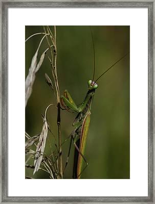 Praying Mantis 2 Framed Print