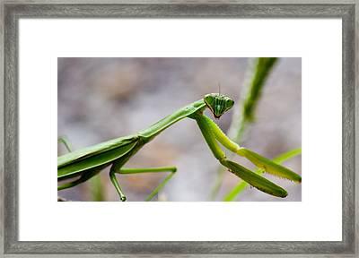 Praying Mantis Looking Framed Print