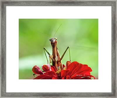 Praying Mantis On Zinnia Framed Print