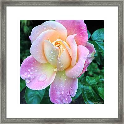 Precious A Late Summer Rose Framed Print