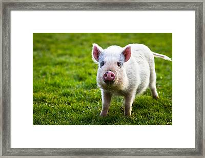 Precocious Piglet Framed Print by Justin Albrecht