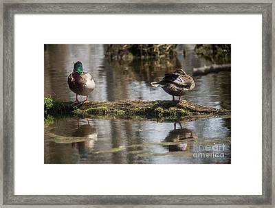 Framed Print featuring the photograph Preening Ducks by David Bearden