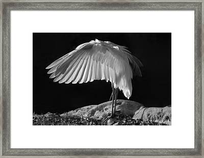Preening Great Egret By H H Photography Of Florida Framed Print by HH Photography of Florida