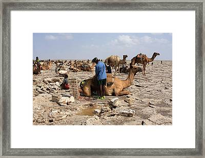 Preparing The Camel Framed Print by Aidan Moran