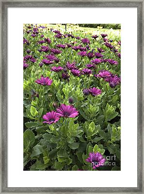 Prescott Park - Portsmouth New Hampshire Osteospermum Flowers Framed Print by Erin Paul Donovan