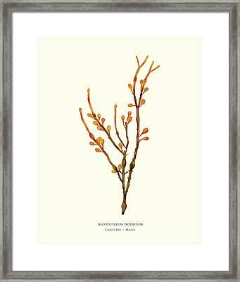 Pressed Seaweed Print, Ascophyllum Nodosum, Casco Bay, Maine. #38 Framed Print