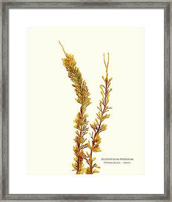 Pressed Seaweed Print, Ascophyllum Nodosum, Popham Beach, Maine. Framed Print