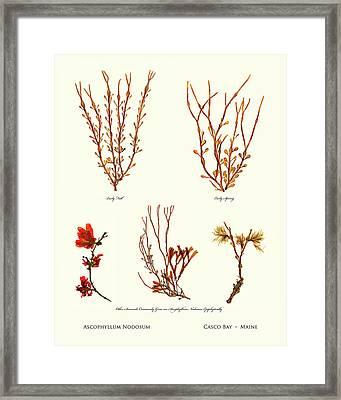 Pressed Seaweed Print, Ascophyllum Nodosum Specimens, Casco Bay, Maine. Framed Print