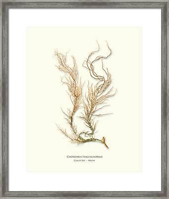 Pressed Seaweed Print, Chordaria Flagelliformis, Casco Bay, Maine. Framed Print