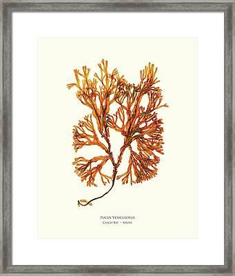 Pressed Seaweed Print, Fucus Vesiculosus, Casco Bay, Maine. #34 Framed Print