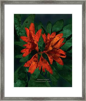 Pressed Seaweed Print, Palmaria Palmata On Repeating Background, Portland Harbor, Maine. Framed Print