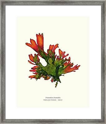 Pressed Seaweed Print, Palmaria Palmata, Portland Harbor, Maine. #25 Framed Print