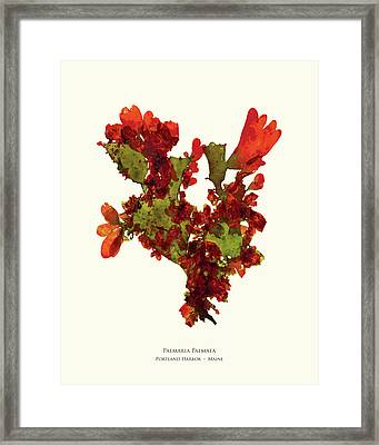Pressed Seaweed Print, Palmaria Palmata, Portland Harbor, Maine.  #37 Framed Print