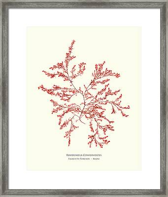 Pressed Seaweed Print, Rhodomela Confervoides, Falmouth Foreside, Maine. Framed Print