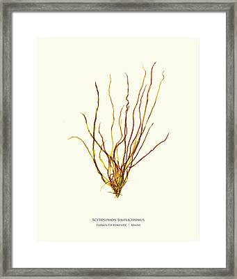 Pressed Seaweed Print, Scytosiphon Simplicissimus, Falmouth Foreside, Maine.   Framed Print by John Ewen