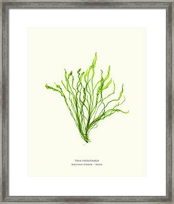 Pressed Seaweed Print, Ulva Intestinalis, Boothbay Harbor, Maine. Framed Print