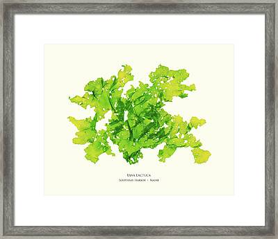 Pressed Seaweed Print, Ulva Lactuca, Boothbay Harbor, Maine. #33 Framed Print