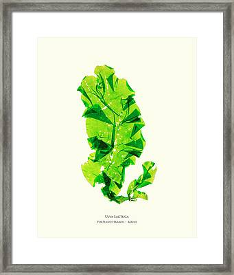 Pressed Seaweed Print, Ulva Lactuca, Portland Harbor, Maine.  #26 Framed Print