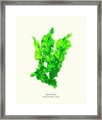 Pressed Seaweed Print, Ulva Lactuca, Sebasco Harbor, Maine. #30 Framed Print
