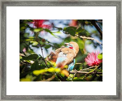 Red Cheeked Cordon Bleu Finch Framed Print