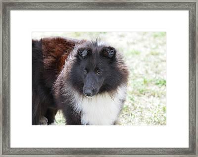 Pretty Black And White Sheltie Dog Framed Print