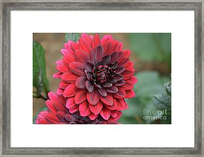 Pretty Blooming Red Dahlia Flower Blossom Framed Print