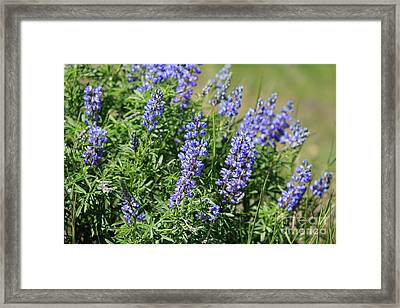 Pretty Blue Flowers Of Silky Lupine Framed Print by Louise Heusinkveld