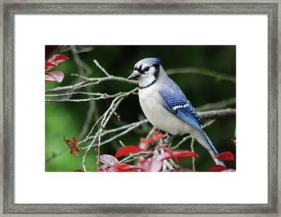 Pretty Blue Jay Framed Print by Trina Ansel
