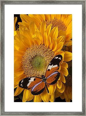 Pretty Butterfly On Sunflowers Framed Print by Garry Gay