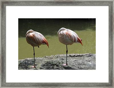 Pretty Flamingo Framed Print by Nichola Denny