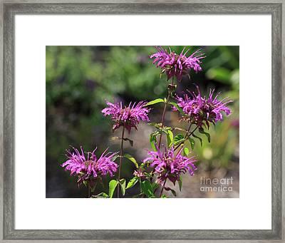 Pretty Flower Bee Balm Peters Purple Framed Print by Louise Heusinkveld