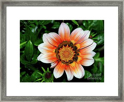 Framed Print featuring the photograph Pretty Gazania By Kaye Menner by Kaye Menner