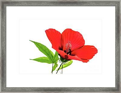 Pretty Hibiscus Framed Print by Svetlana Sewell