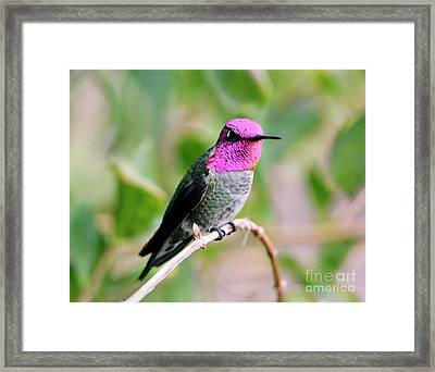 Pretty In Pink Anna's Hummingbird Framed Print