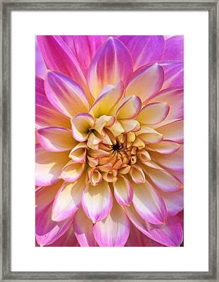 Pretty In Pink Dahlia Framed Print by Kathy Yates