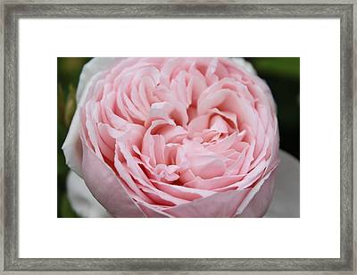 Pretty In Pink Framed Print by Sabina Thomas