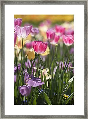 Framed Print featuring the photograph Pretty In Pink Tulips by Jeanne May