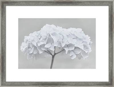 Pretty In White Hydrangea Flowers Framed Print by Jennie Marie Schell
