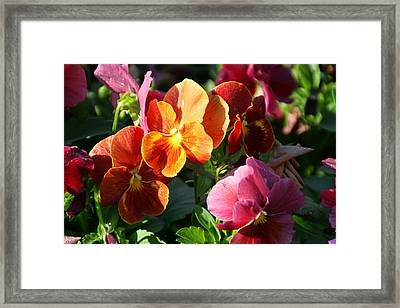 Pretty Pansies Framed Print by Andrea Jean