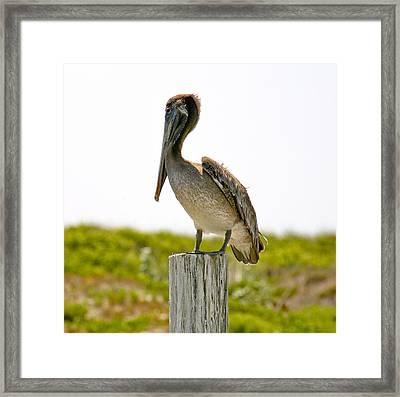 Pretty Pelican Framed Print