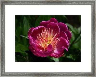 Pretty Pink Peony Flower Framed Print