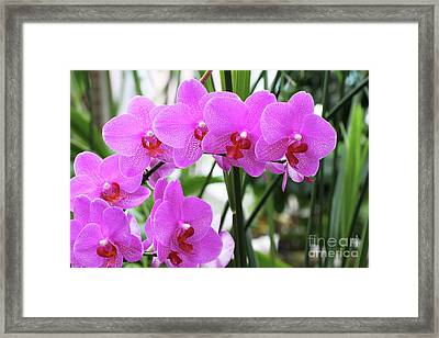 Pretty Pink Phalaenopsis Orchids #2 Framed Print