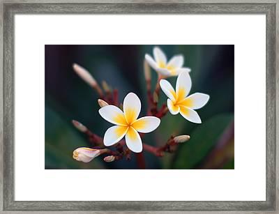 Pretty Plumerias Framed Print by Mandy Wiltse
